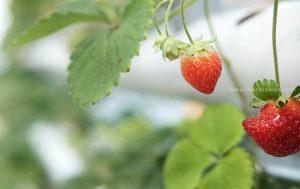 Wisata Petik Strawberry Bandar Lampung